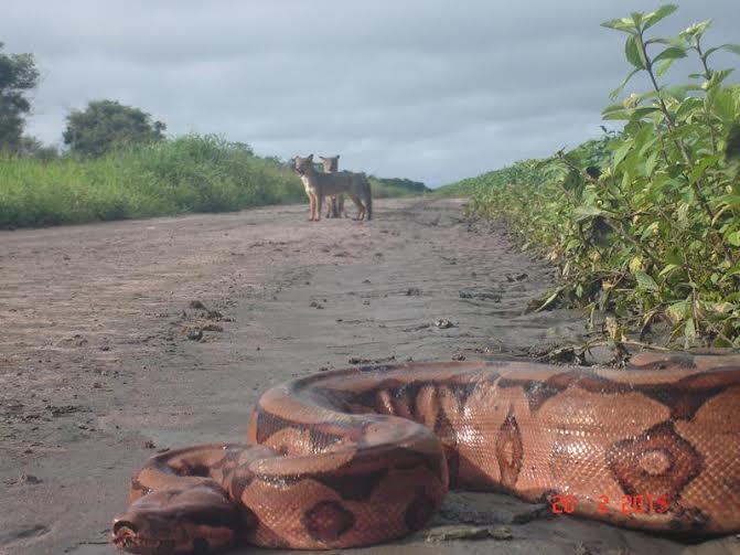 Imagem do dia - Raposas na lavoura de soja tentando caputurar uma jiboia em Uruçuí (PI). Envio de Altair Fianco