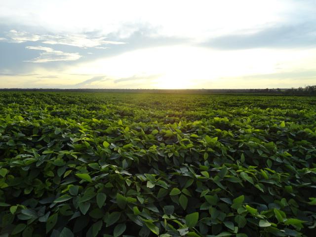 Lavoura de soja na região do Vale do Araguaia (MT). Imagem enviada pelo produtor rural, Vilmar Pereira.