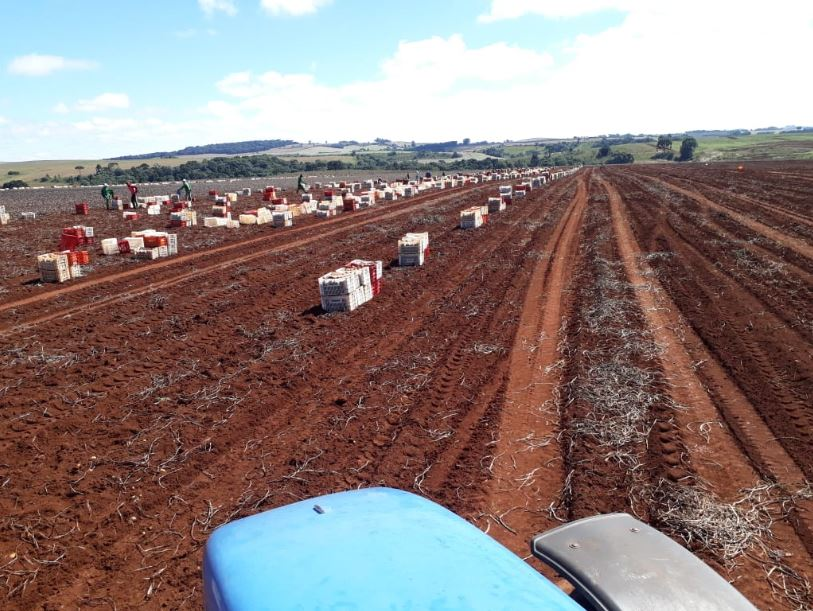 Colheita batata semente em lagoa vermelha, grupo igarashi Papanduva (SC). Envio de Antônio Barabach