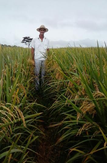Imagem do dia - Lavoura de arroz em Alta Floresta (MT), na Fazenda Criola. Envio do produtor rural, Valdemar Gamba