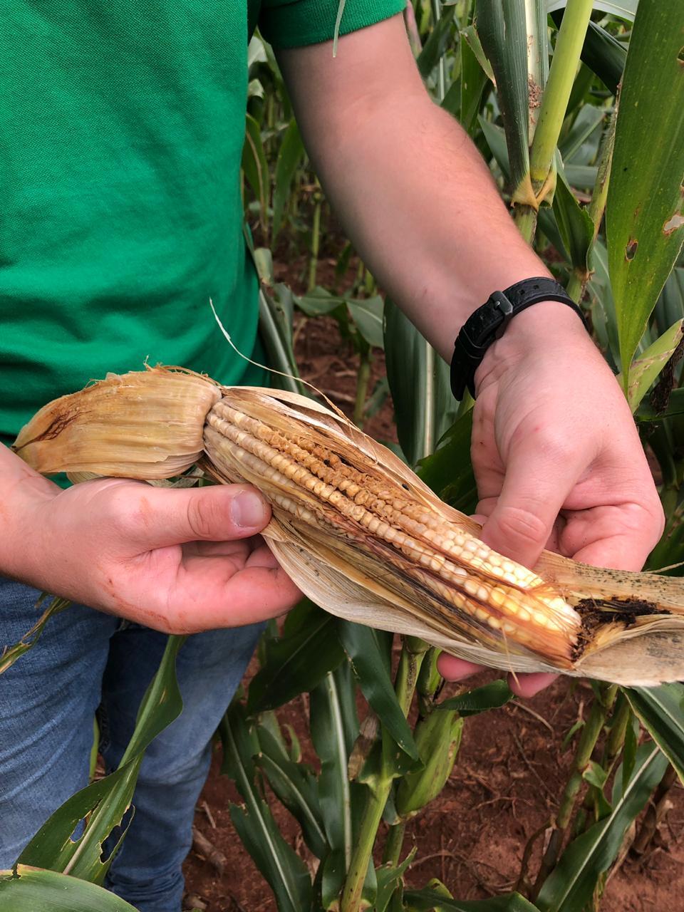 Safrinha de milho em Doutor Camargo/PR | Foto: Ildefonso Ausec