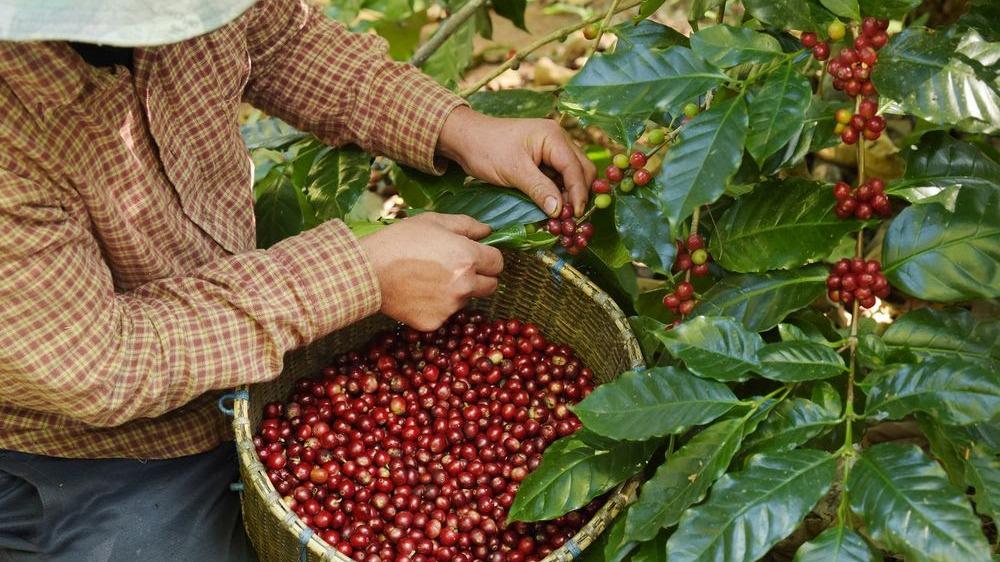 Café colheita grãos de café