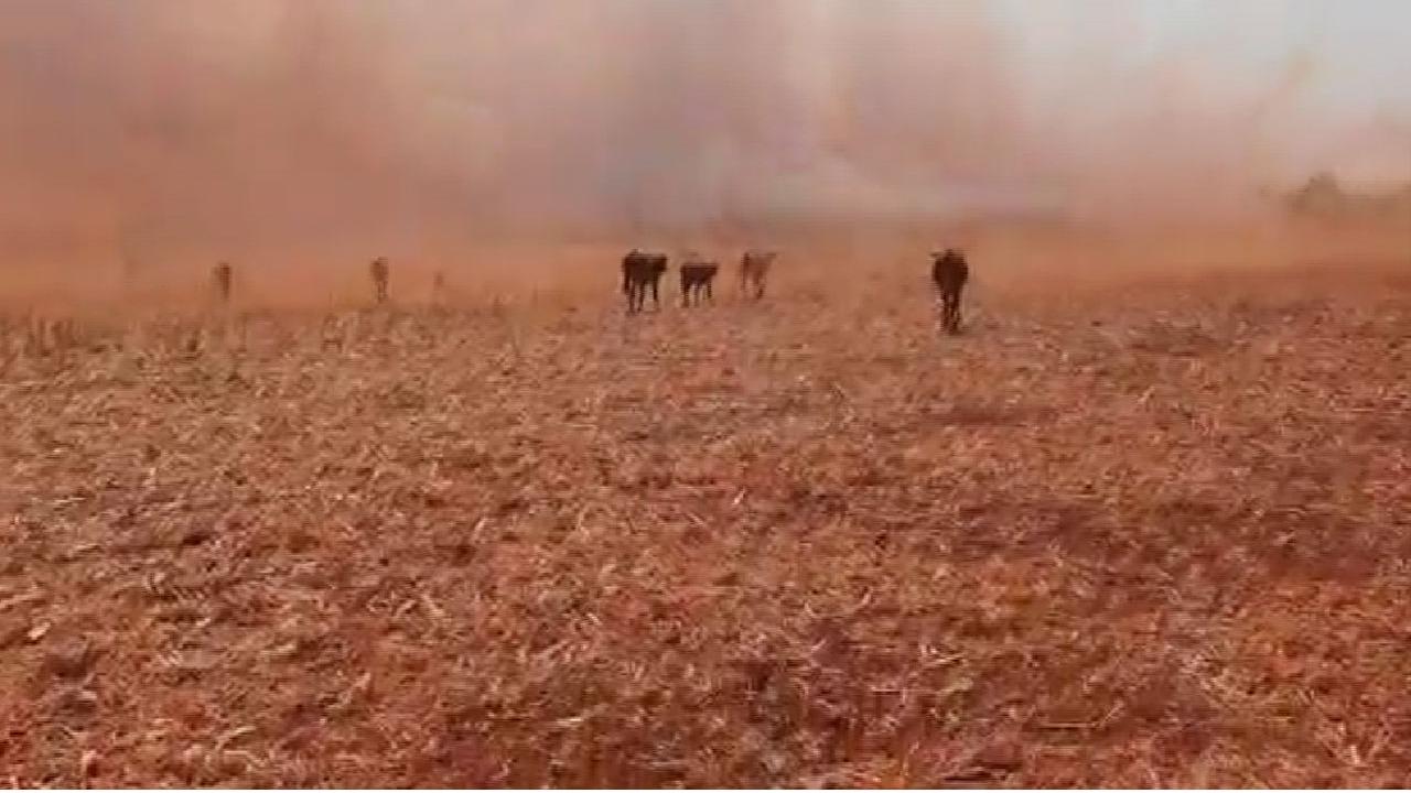 Incêndio, bezerros em meio a queimada em Jataí-GO - 16:9