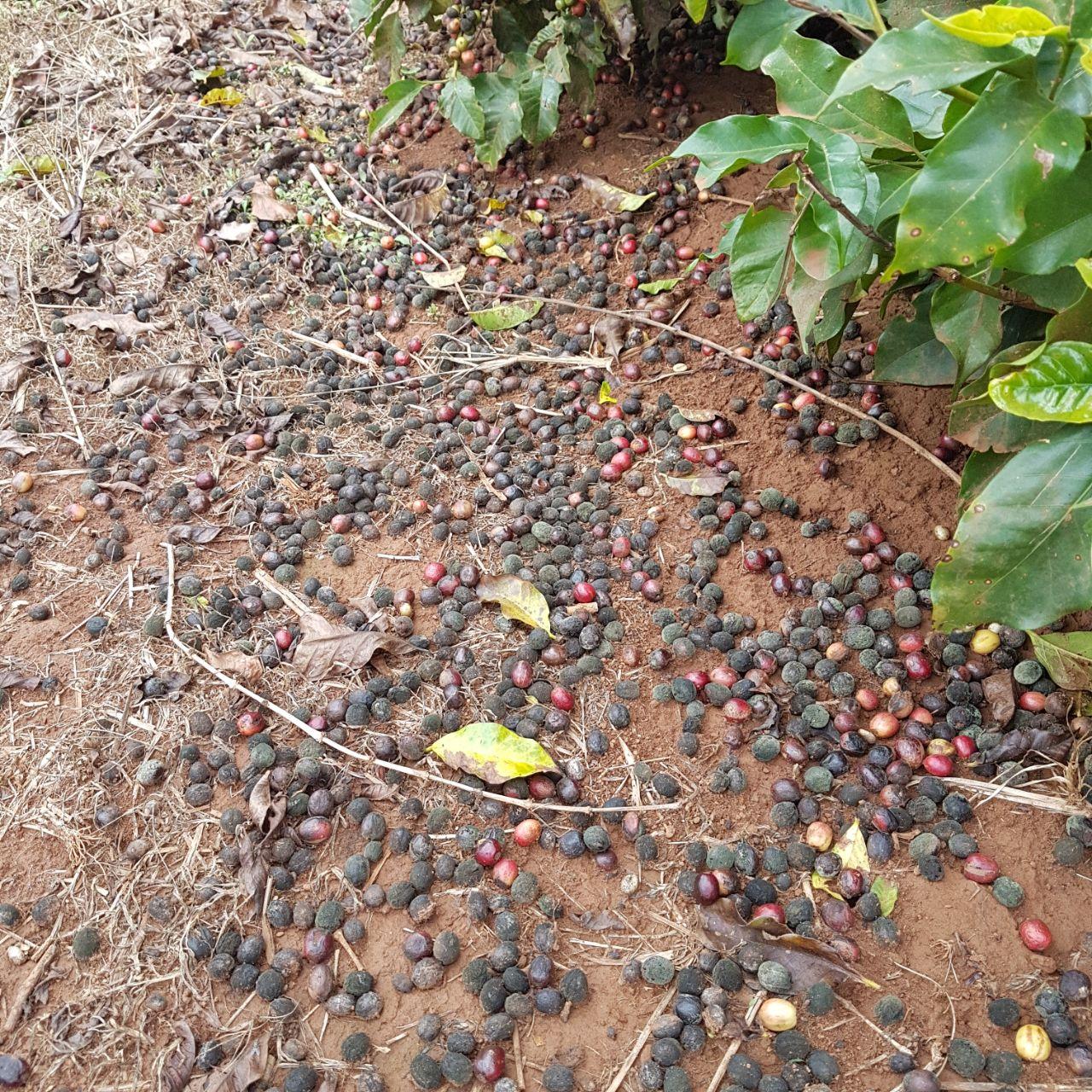 Café no chão por conta das chuvas em São José da Bela Vista (SP) - Foto: Marcelo Jordão Filho