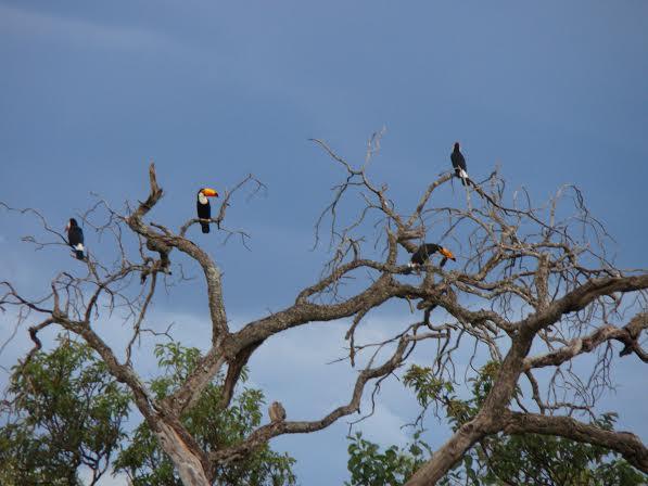 Imagem do dia - Tucanos na região de Jaborandi (BA). Envio do engenheiro agrônomo Armando Ayres de Araujo