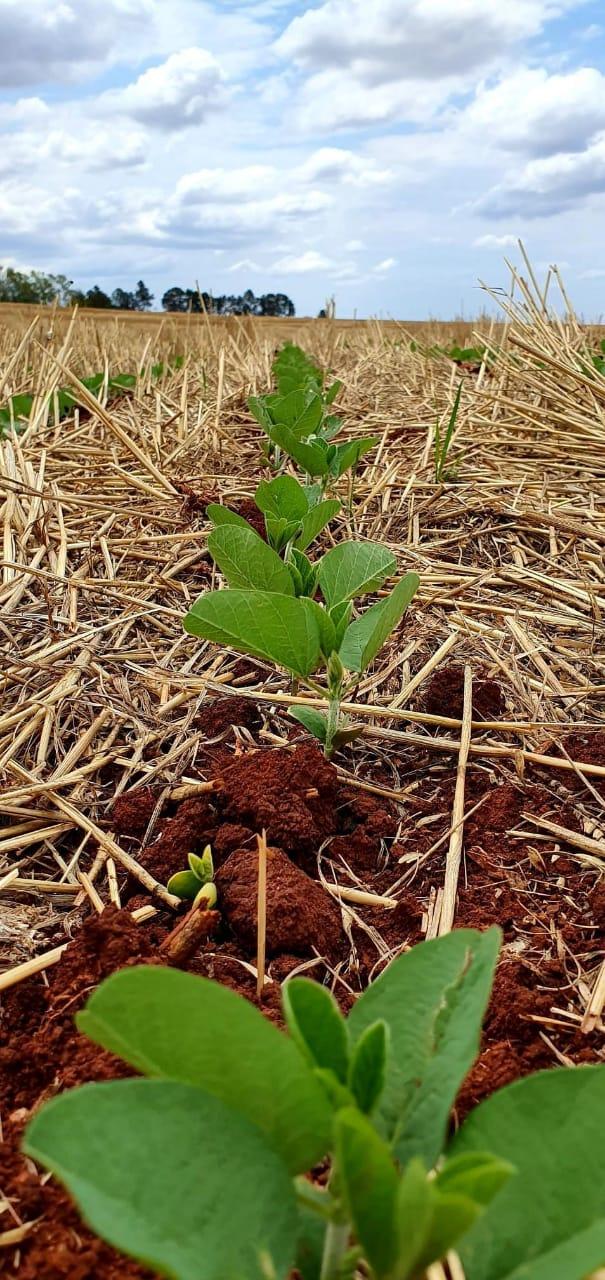 Plantio de soja em Rolândia (PR). Envio de Silvia Meliss