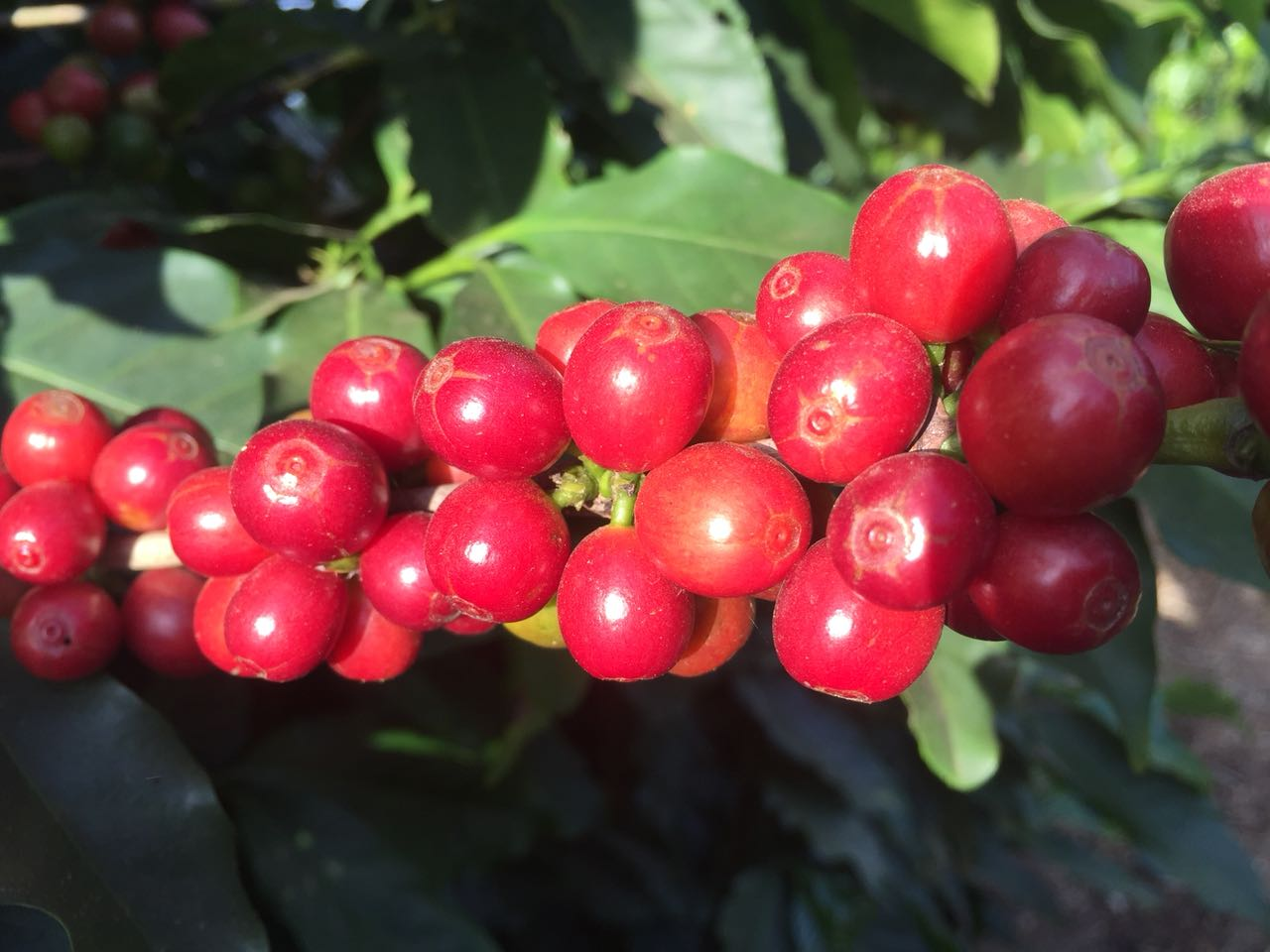 Café em Campestre (MG). Envio de Rogério Nery, da Coffee Trader Lucaffé Brazil