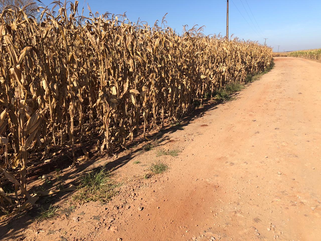 Segunda Safra de Milho em Doutor Camargo/PR - Ildefonso Ausec