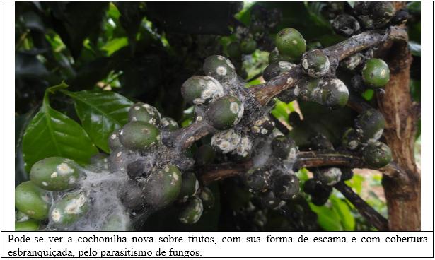Procafé: Cochonilha nova constatada em cafeeiros no Sul de Minas