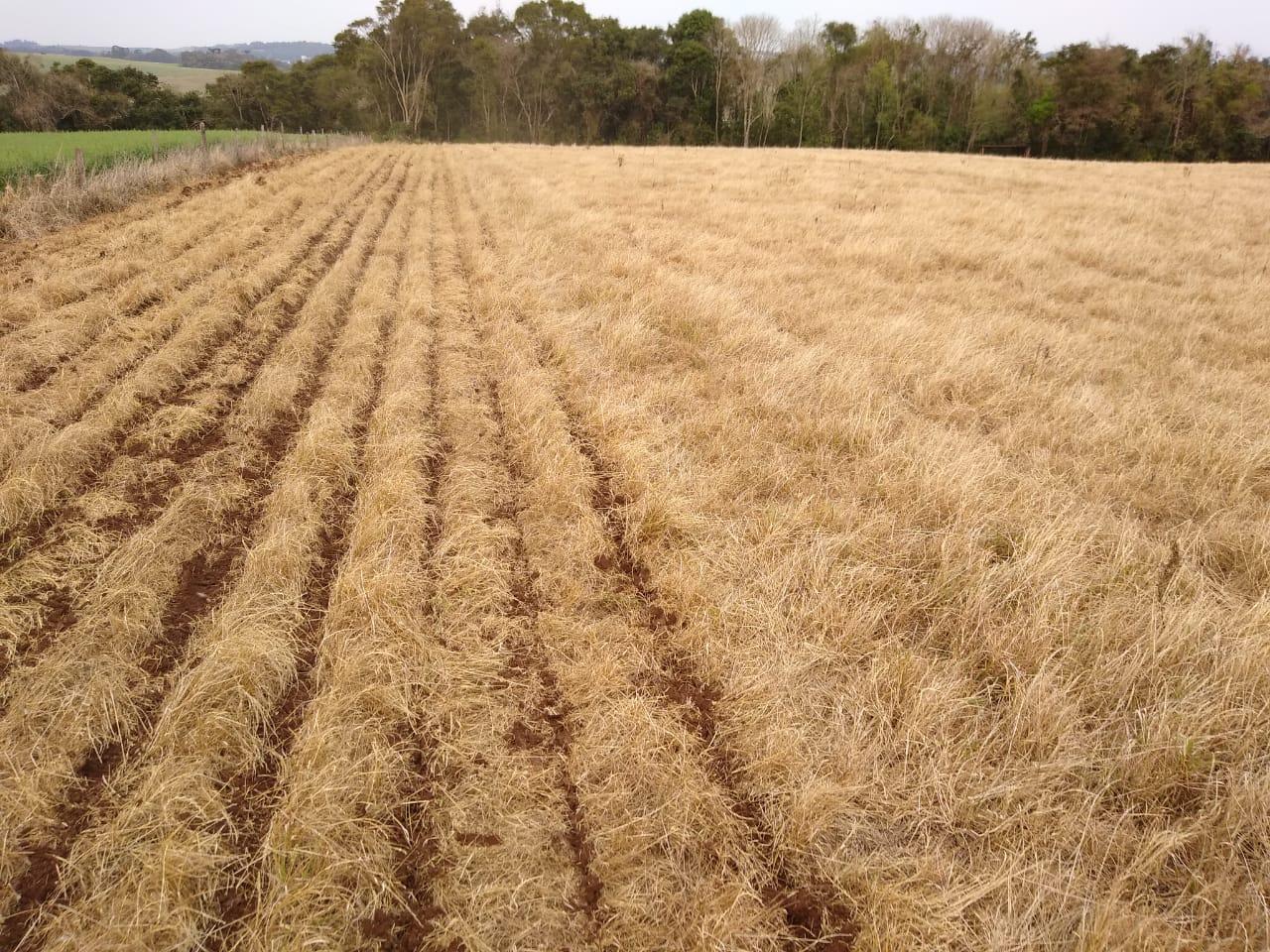 Condição Ideal plantio Milho em Sananduva (RS). Envio de Alexandre Maitto,