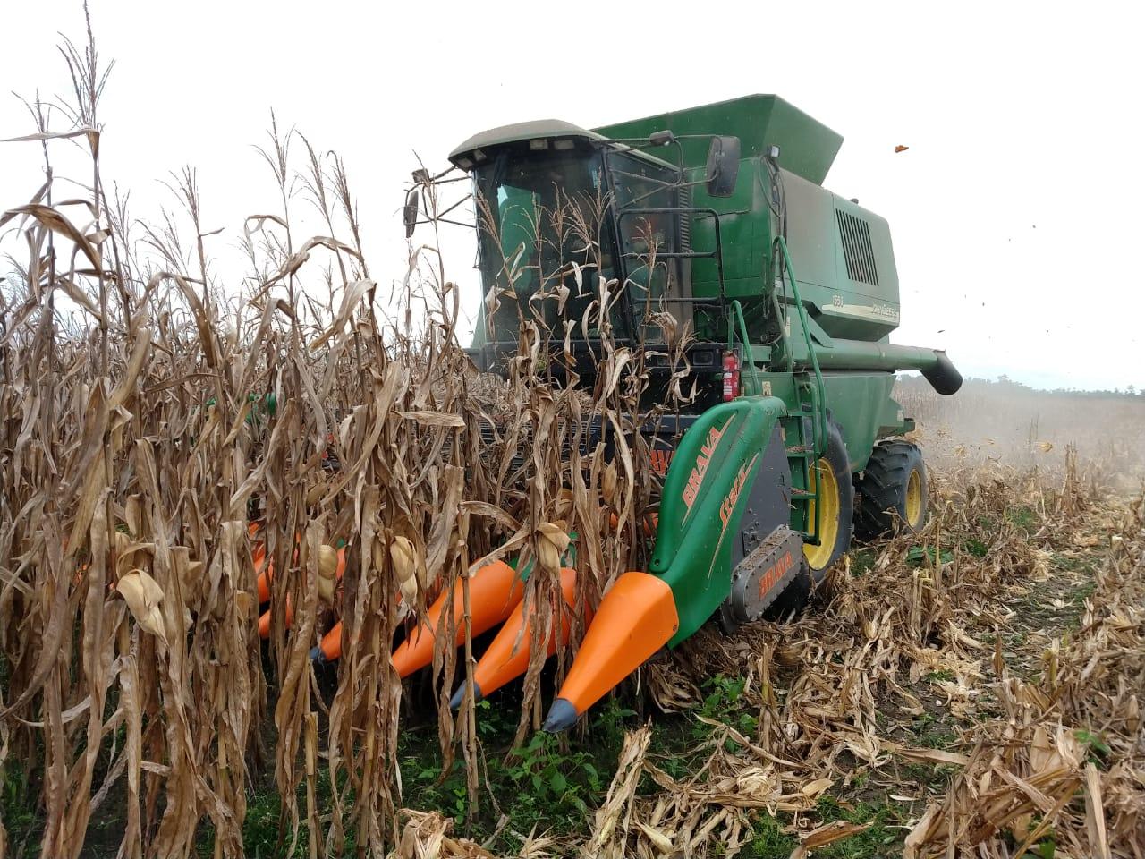 Área primeiro ano de plantio, colheita de milho em Tailândia (PA). Envio do Eng. Agrônomo e Proprietário Sidnei Roberto Lermen.