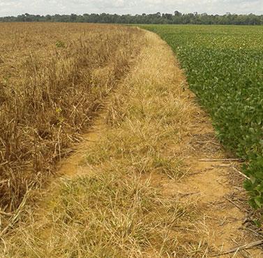Lavouras de soja em Ipiranga do Norte e Vera, em Mato Grosso, sofrendo com o clima - envio de Gilberto Peruzi