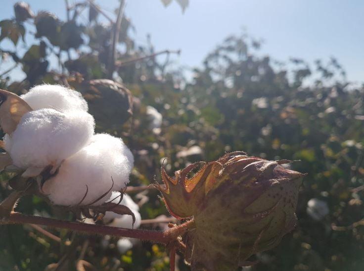 Algodão na Fazenda Bom Jardim em Montividiu (GO). Envio de Rafaela De Napoli