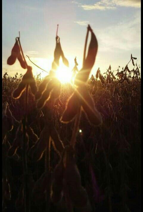Astro rei iluminando a soja em Colorado (RS) - Ise Roveda