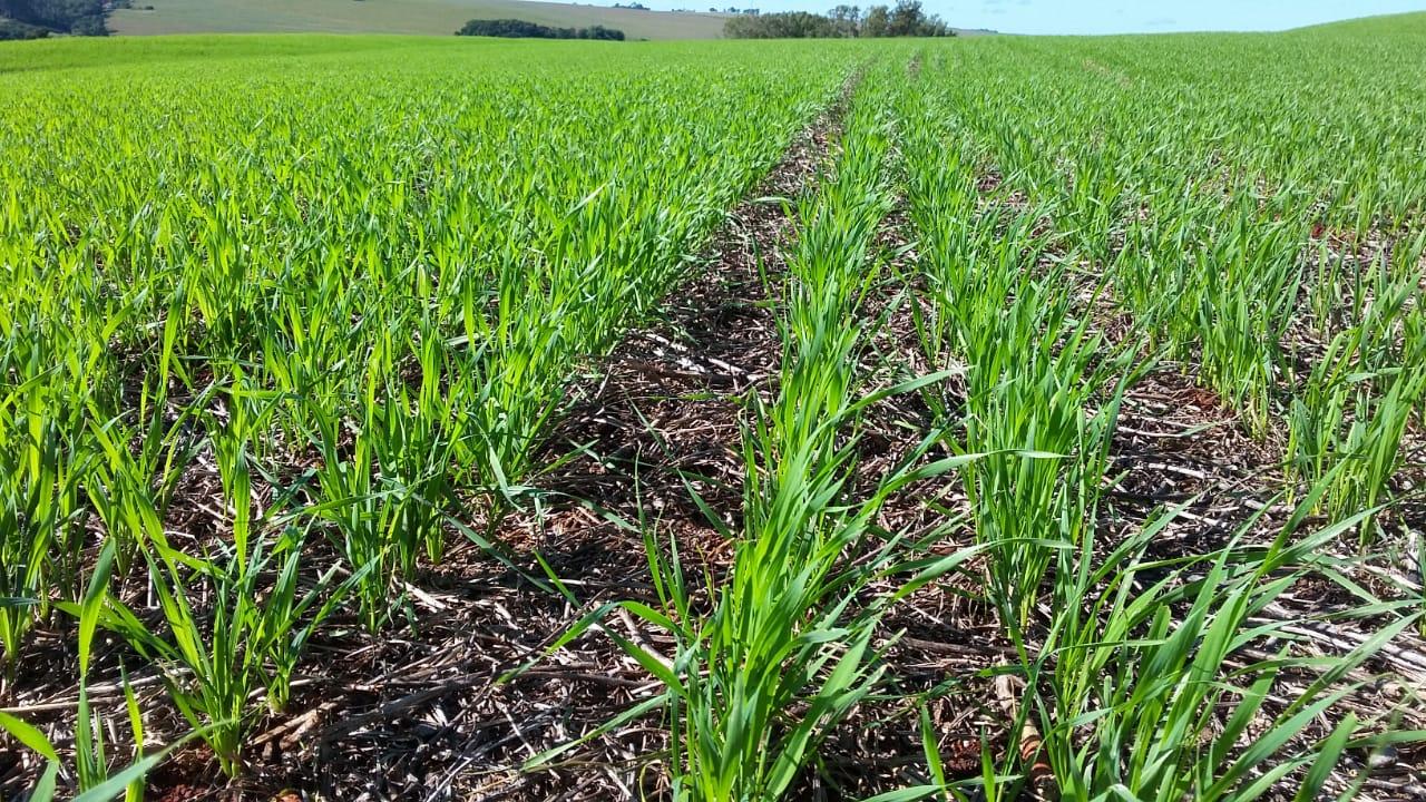 Área de trigo no Município de Nova Aurora (PR). Envio do Técnico Agrícola da COPACOL David Clemente