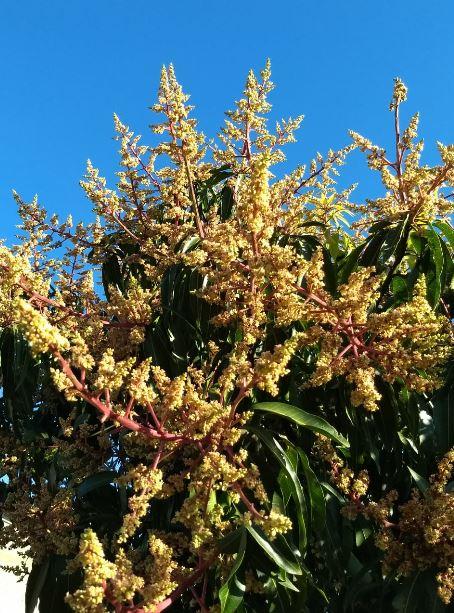 Pé de manga em floração em Sulina (PR). Envio de Cristiano Willenborg