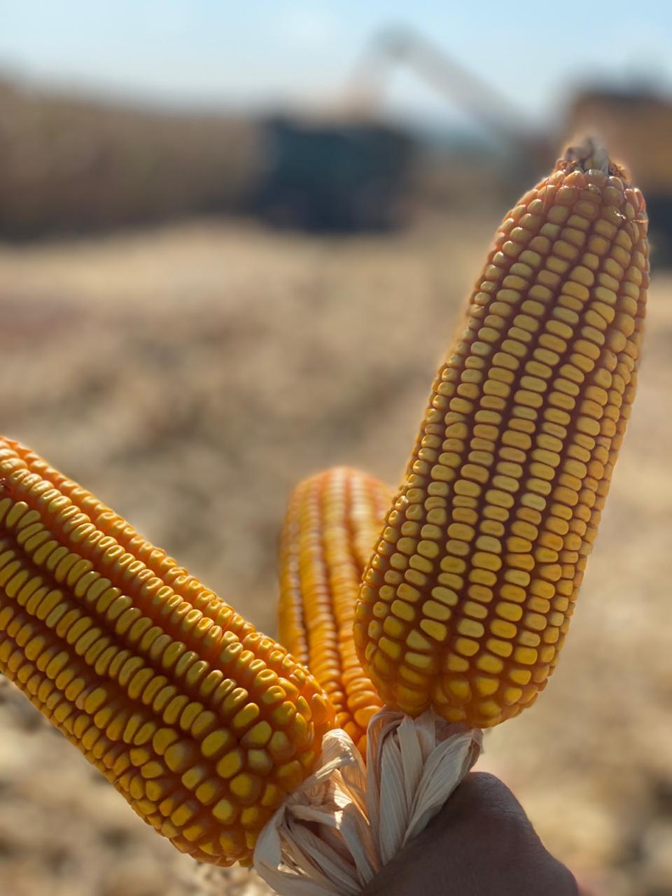 Colheita da Safra de Milho - Itambé/PR - Nivaldo Forastieri