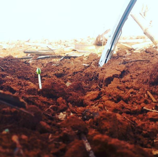 Germinação da Cultivar EXTRA IPRO. Faz. Jussara em Itiquira (MT). Envio de Leandro Gonçalves
