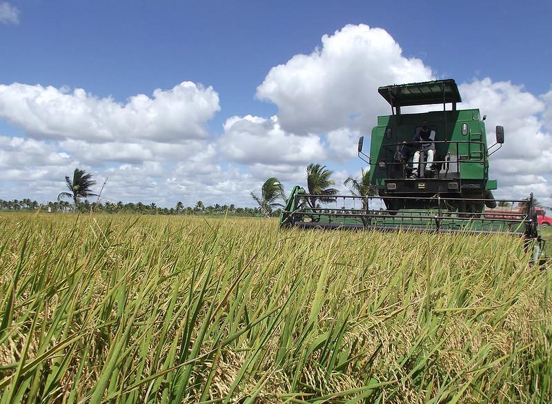 Colheita do Arroz - Alagoas