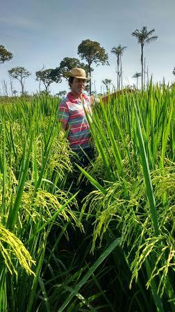 Imagem do dia - Lavouras de arroz na propriedade de Jair Biavatti, em Claudia (MT). Envio de Régis Liesenfeld