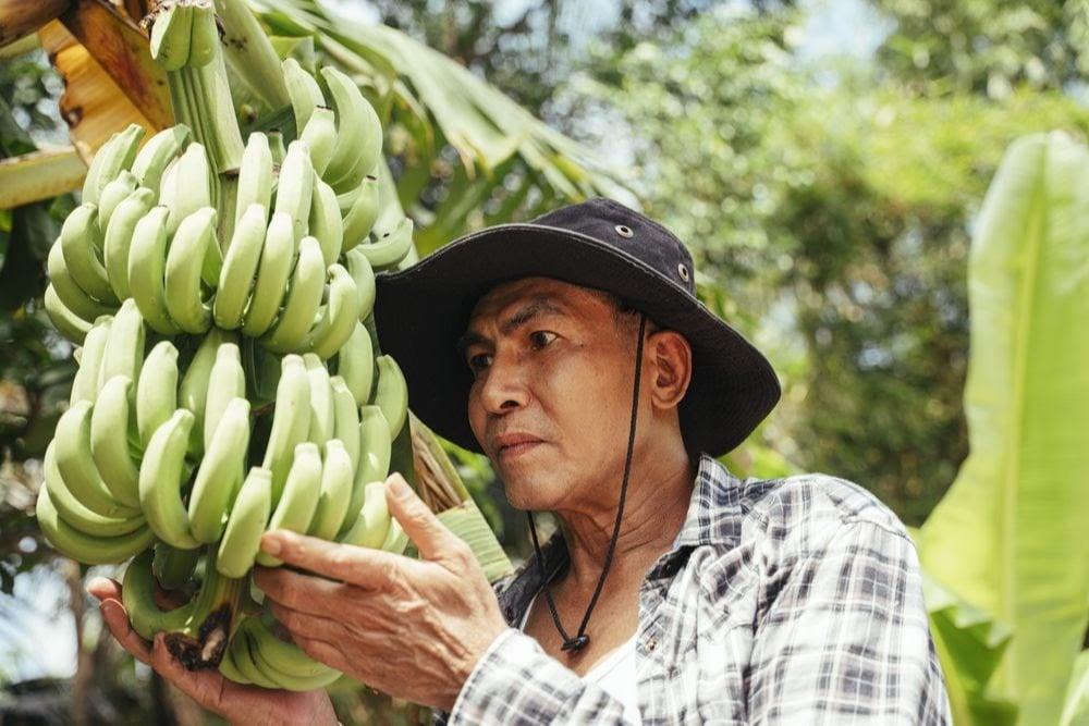 banana_doença_peru_equador_iica