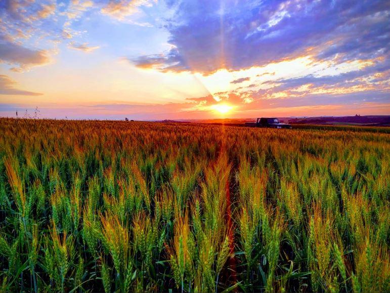 Pôr do Sol e trigo em Roncador (PR). Envio de Junior Flora