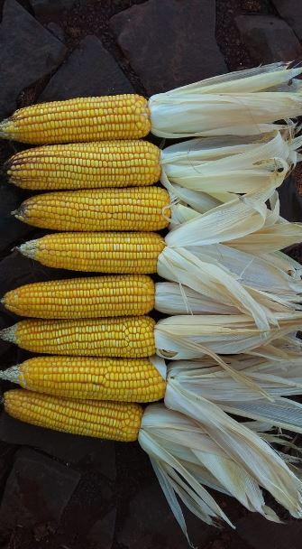 Milho Safrinha próximo da colheita em Nova Aurora (PR). Envio do Técnico Agrícola David Clemente.