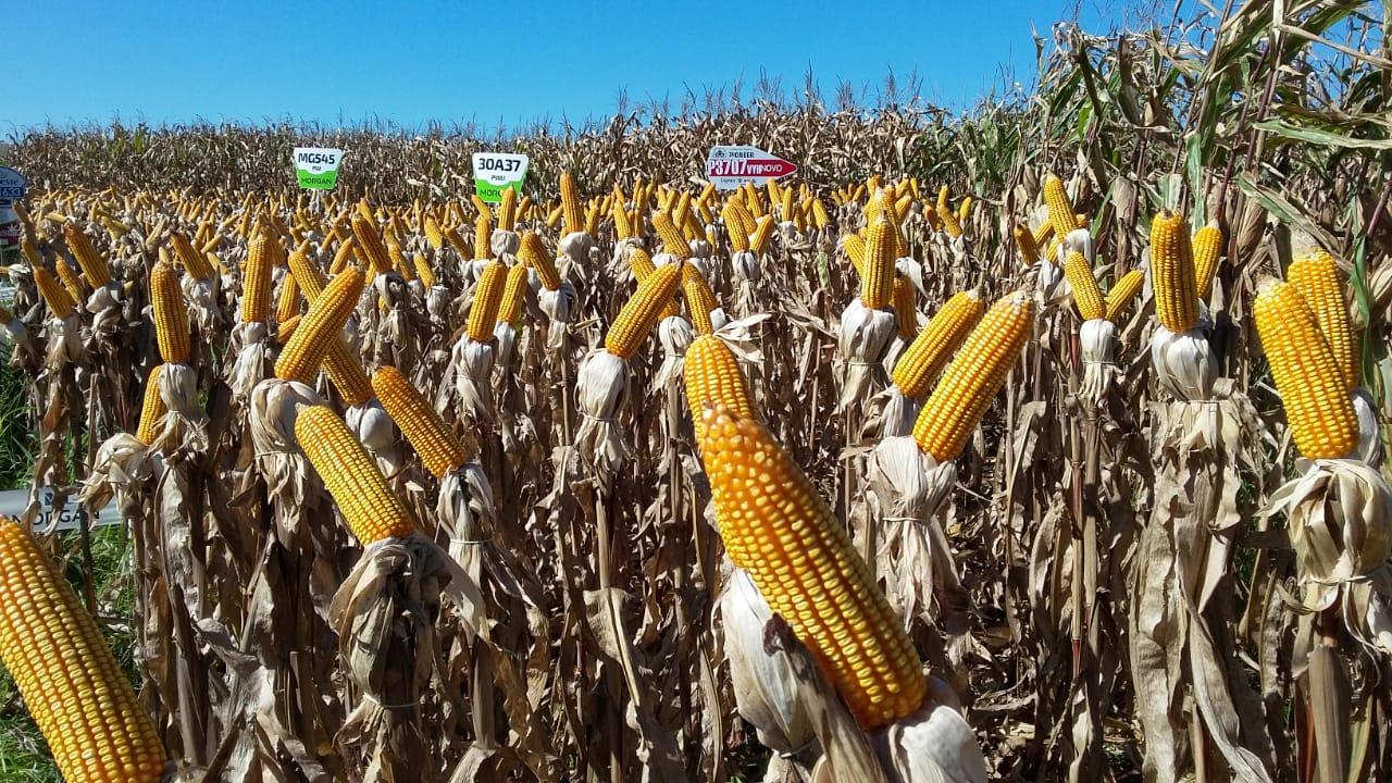 Dia de Campo de milho safrinha em Nova Aurora (PR). Envio do Técnico Agrícola da Copacol, David Clemente.