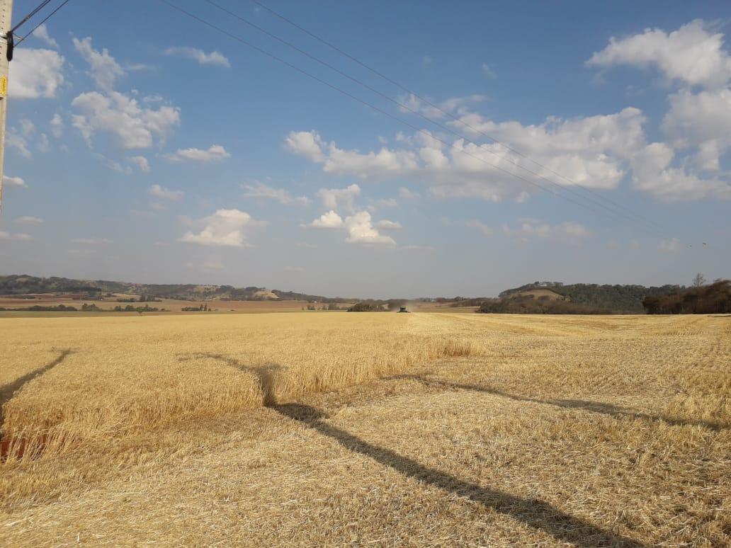 Colheita do trigo em Santa Helena (PR). Envio de Elton Stein e família.