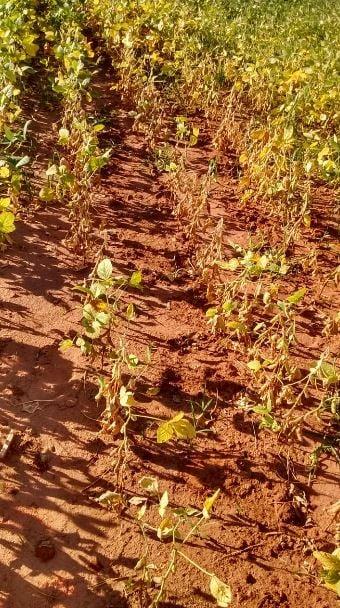 Situação da soja em Terra Roxa (PR). Envio de Vinicius Zaura