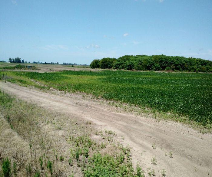 Argentina Safra 2016/17 - Área de milho que sofreu com a enchente... Sem recuperação