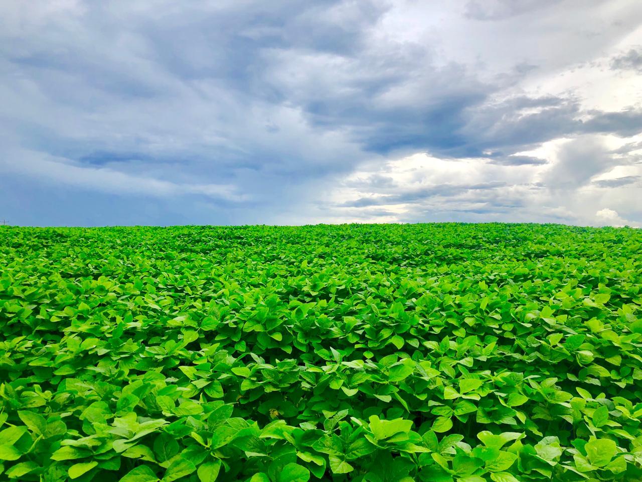 Áreas de soja na região de Lagoa Vermelha (RS). Envio do Eng. Agr. Carlos R. Dellavalle Filho