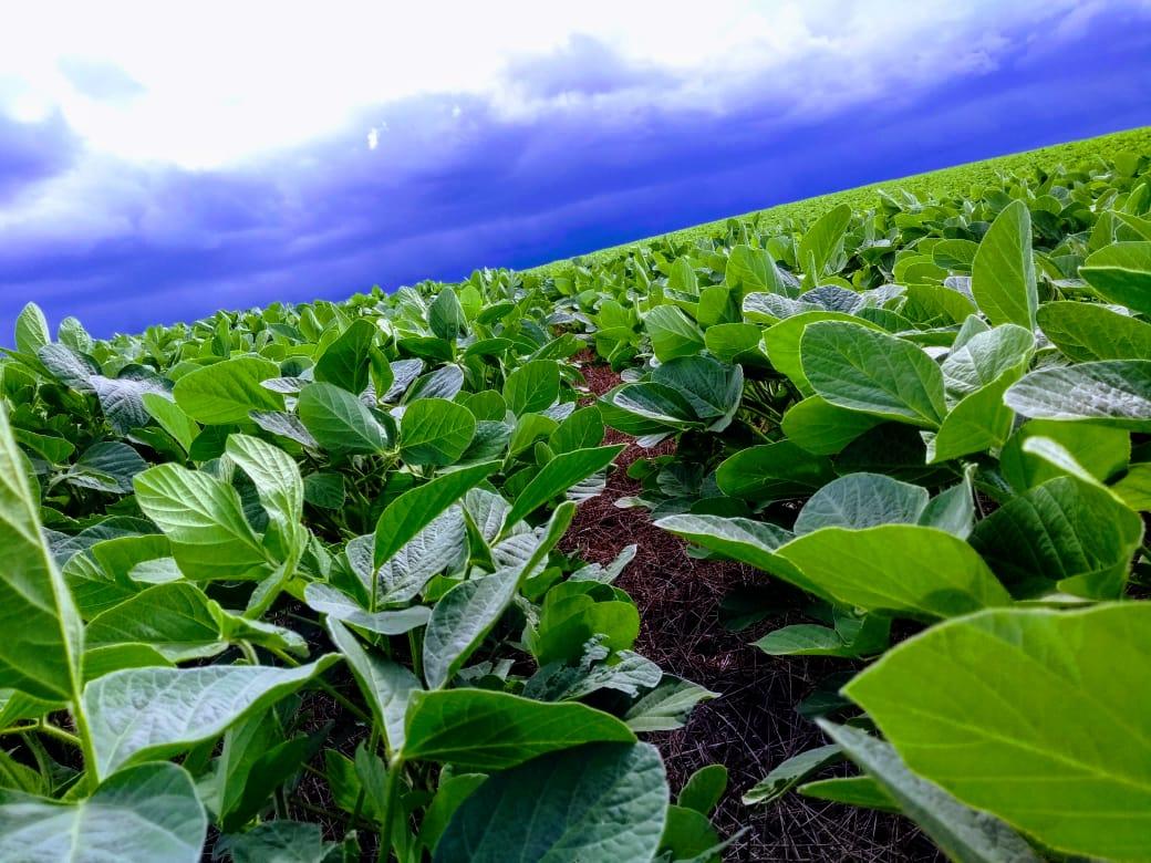 Soja plantada em 24/10/18 na Fazenda Rancho Fundo, em Quedas do Iguaçu (PR)
