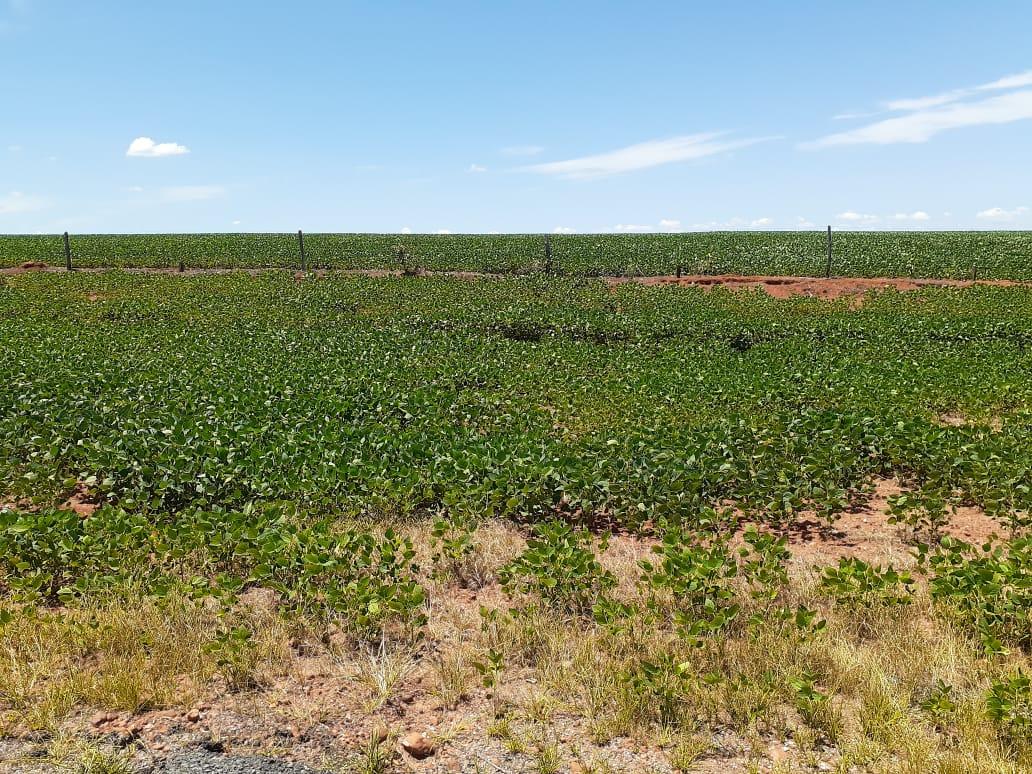 Seca na soja em Uruaçu/GO