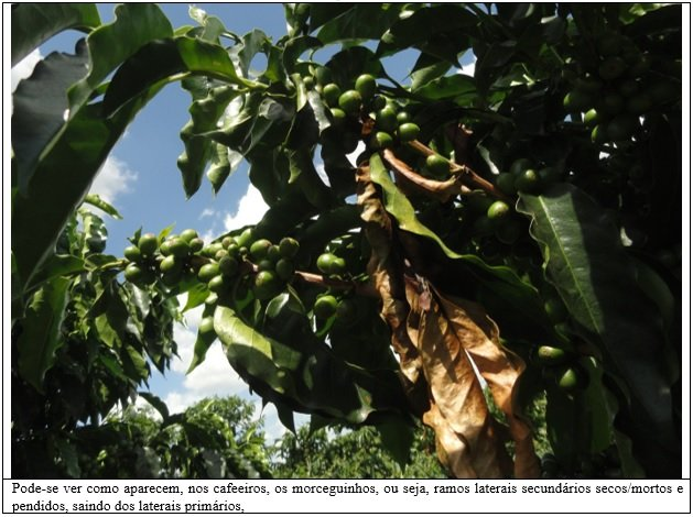 Procafé: Causas do morceguinho ou seca de ramos laterais secundários em cafeeiros