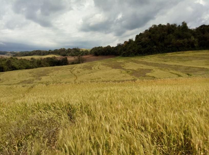 Perdas por geada na cultura do trigo no sudoeste do Paraná. Envio do Técnico agropecuário Lucinei Cagol