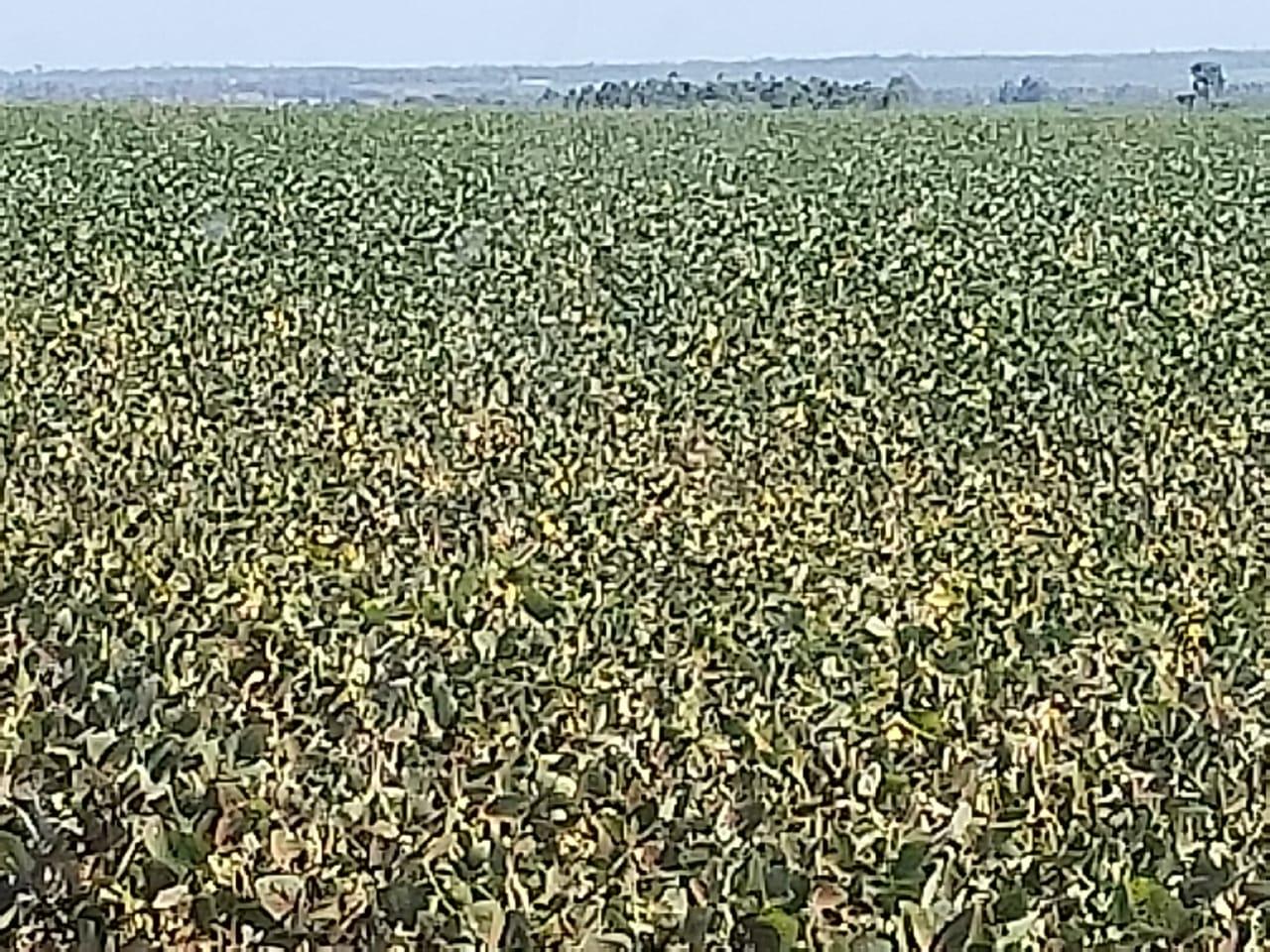Soja tardia e milho safrinha morrendo pela a estiagem em San Alberto, Paraguai. Envio de Elson Teixeira
