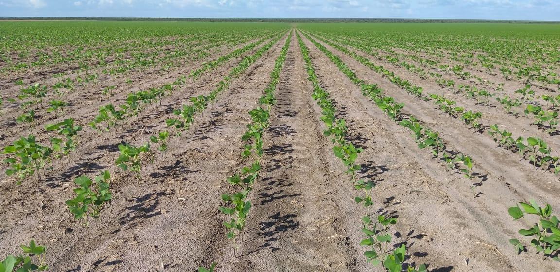 Com atraso das chuvas as lavouras de soja se encontrar na parte vegetativa em Bom Jesus (PI). Envio de Abel Pieta
