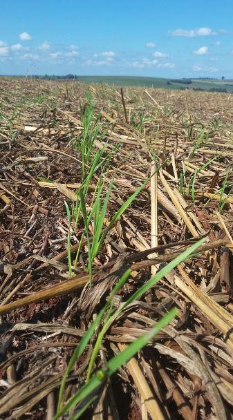 Germinação das primeiras sementes de trigo em Nova Aurora (PR). Envio do Técnico Agrícola da Copacol David Clemente.