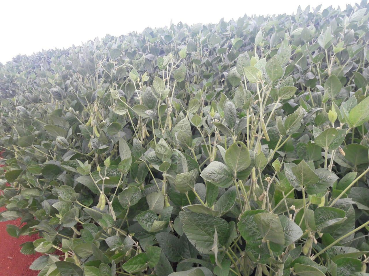Lavoura de soja na Fazenda Jaboticabal em Cel Vivida (PR). Envio de Helio de Carli