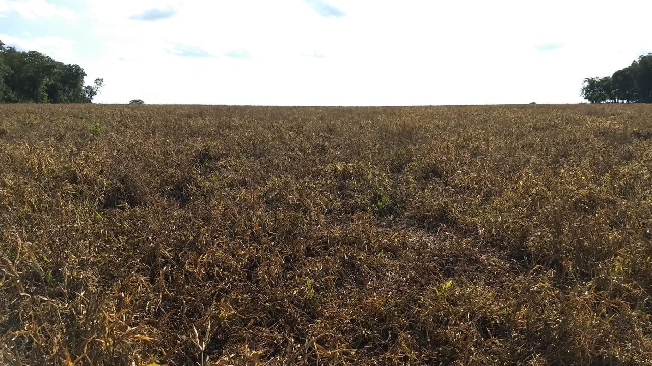 Trigo (Brachiaria ruzizienses) dessecar para plantio de soja na região de Jataí (GO). Envio do Engenheiro Agrônomo Hildo Antônio.