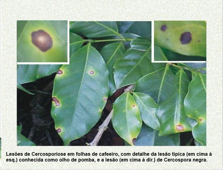 Cercosporiose no café - José Braz Matiello
