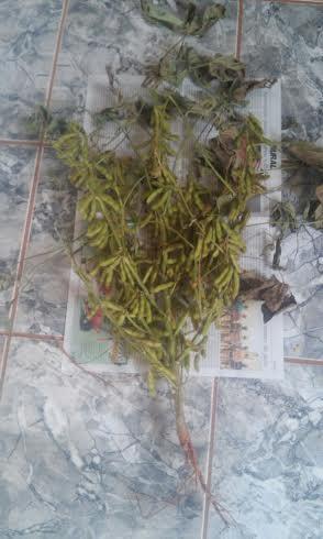 Imagem do dia - Soja safrinha em Boa Vista do Incra (RS), do produtor rural Francisco Tirloni