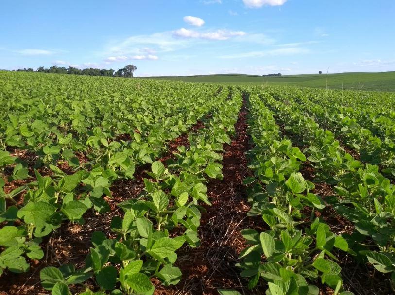 Ótimo desenvolvimento inicial da soja em Bom Sucesso do sul (PR). Envio do Engenheiro Agrônomo Paulo Roberto Sartor.