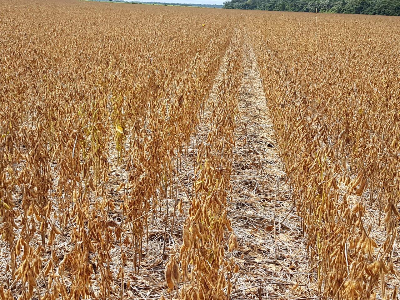 Iniciando a colheita na região de Cerejeiras (RO) na propriedade de Valdir Navarro