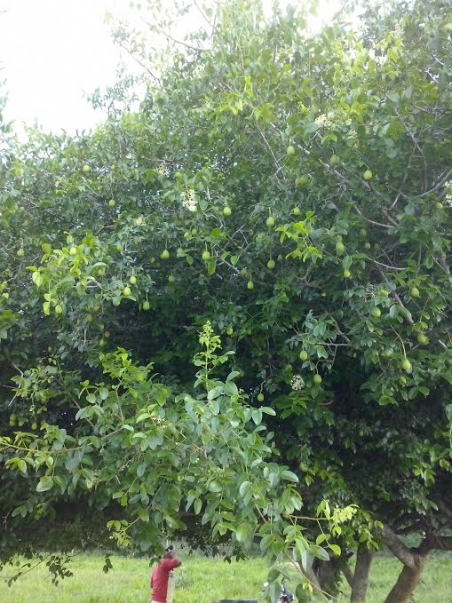 Imagem do dia - Umbuzeiro em Poço Verde (SE). Enviado pelo produtor rural Everaldo
