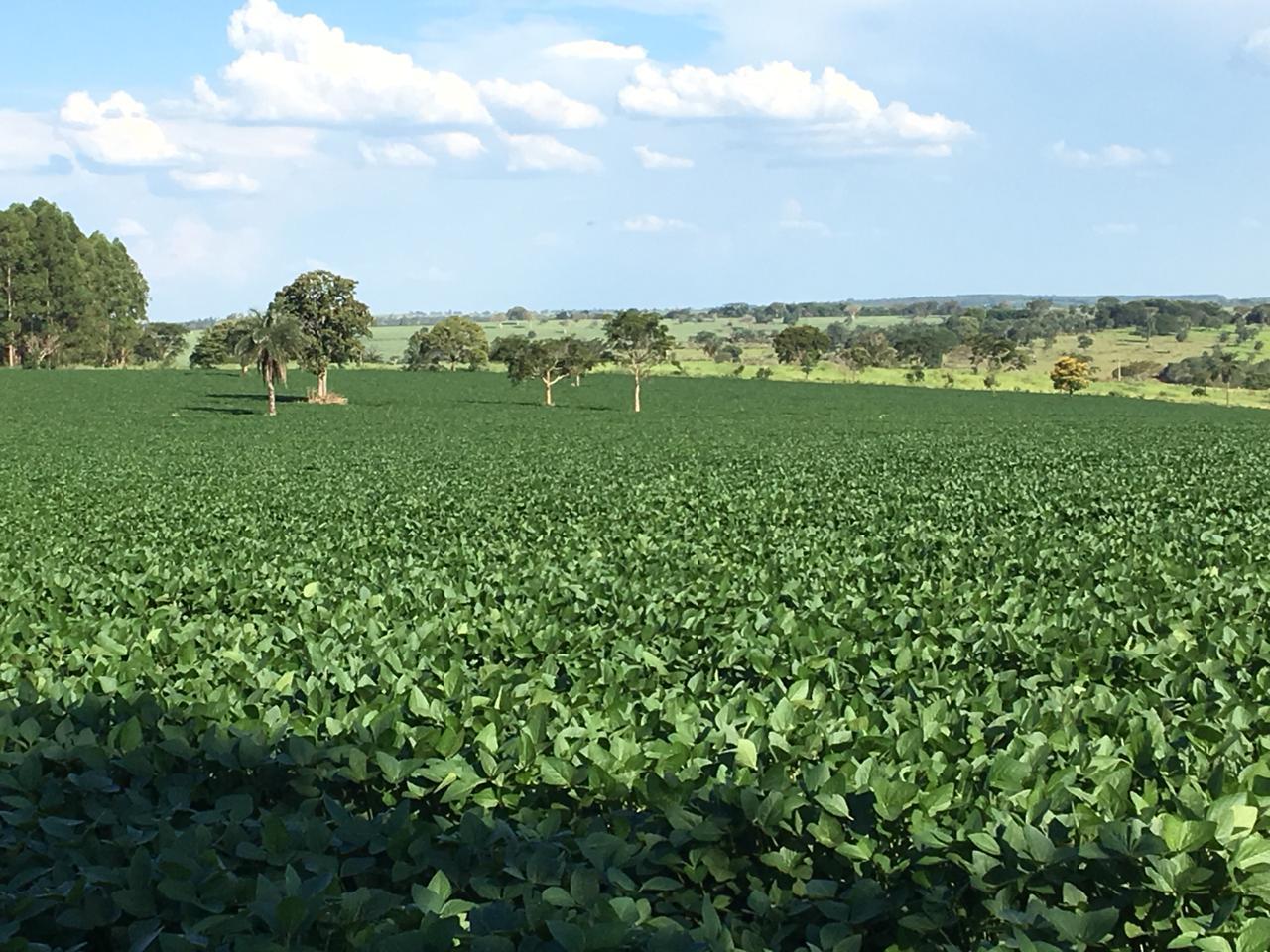 Soja primeiro ano na Fazenda Jatobá, cidade de Luz (MG), com 26 dias de sol no mês de janeiro. Em fevereiro, a precipitação foi de 11 mm