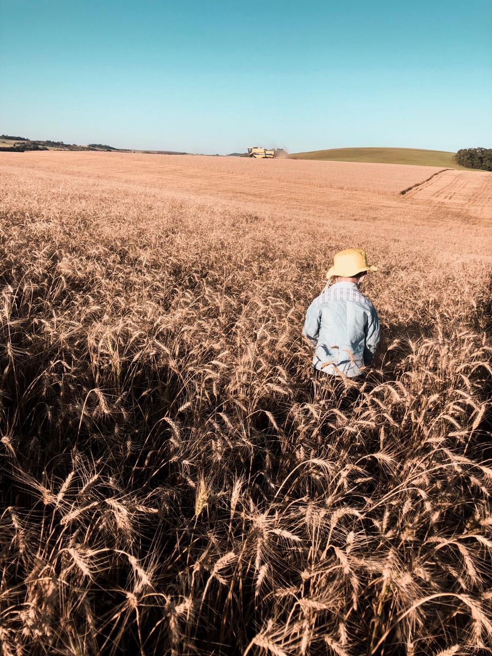 Miguel Capelin na colheita Trigo em Coronel Vivida (PR). Envio de Mateus Capelin