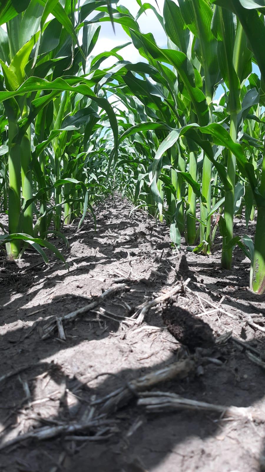 Área de milho em plantio convencional apos 60 dias de plantio em Buchanan, Dakota do Norte, EUA. Envio de Gustavo Philippsen