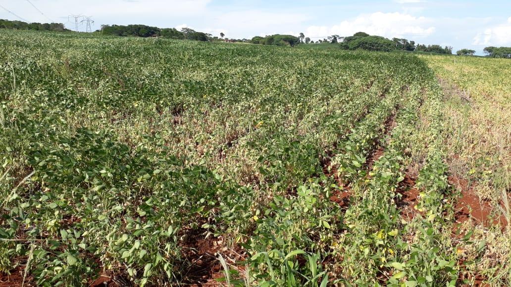 Soja sofrendo com a seca no Paraná